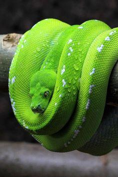 Green Tree Python Adult (Morelia viridis)