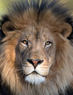 Leão tatuado na Demi Lovato Large Animals, Zoo Animals, Animals And Pets, Cute Animals, Lion Images, Lion Pictures, Animal Pictures, Beautiful Cats, Animals Beautiful