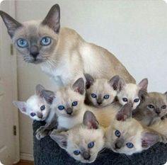 grande portee de chatons siamois et mere                              …