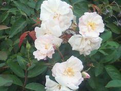 'Marie Pavie' Antique Rose from Antique Rose Emporium in Brenham Texas.