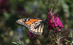 The USDA Needs The Help Of Farmers To Save The Noble Monarch Butterfly - http://modernfarmer.com/2015/11/usda-farmers-save-monarch-butterfly/?utm_source=PN&utm_medium=Pinterest&utm_campaign=SNAP%2Bfrom%2BModern+Farmer