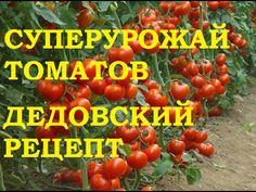 Суперурожай томатов! Дедовский рецепт! - YouTube