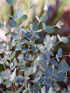 Top Fragrant Houseplants, Eucalyptus♥️