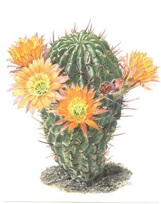 Echinopsis Campana print 1954 Vintage Flowering cactus art Orange cactus bloom Cactus painting Botanical art Cactus print Botanical print Best Picture For Cactus types F. Cactus Drawing, Cactus Painting, Watercolor Cactus, Cactus Art, Cactus Flower, Orange Painting, Cactus Decor, Garden Cactus, Cactus Plants