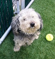 *Safe - 9-3-2017 Manhattan  -rescue only- COFFEE.  A1123433. I am a female gray and black bichon frise mix.  I am about 5 YEARS old.  STRAY on 08/27/2017