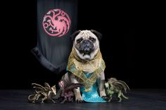 Game of Thrones Pugs of Westeros, Daeneys Targaryen - Roxy, Blue and Bono are three cute pugs from California that love being dressed up and photographed by their owners – Phillip & Sue Lauer.