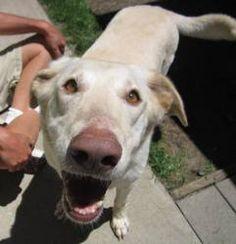 Summer: Yellow Labrador Retriever, Dog; Pontiac, MI