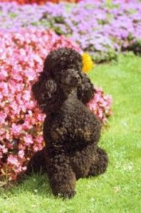 Miniature Poodle | Miniature Poodle Dog detailed characteristics555