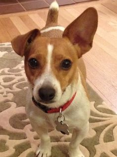 Jack Russell = mine has ear up and ear down, name Budda Riley