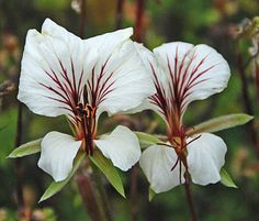 Pelargonium praemorsum ssp. praemorsum - Ink-lined flowers reign regally over this slim stemmed & twiggy shrublet like masses of Victorian butterflies.