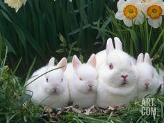 Family of Albino Netherland Dwarf Rabbits, USA Premium Poster by Lynn M. Stone at Art.com