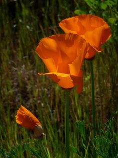 Poppies on Brushy Peak, by Sheran Clark.