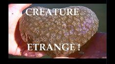 Une créature étrange envahie les lacs de France, la Pectinatella magnifi...