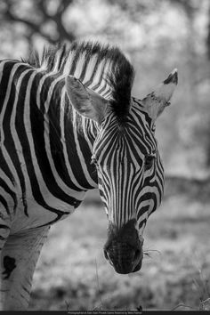 A zebra pauses from feeding to check its surroundings.
