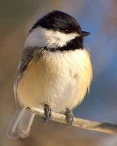 Black-capped Chickadee () Discover the best foods to attract the winter birds you want to see with these simple tips, each of which is paired with a gorgeous winter bird photo. Cute Birds, Pretty Birds, Small Birds, Little Birds, Colorful Birds, Beautiful Birds, Yellow Birds, Beautiful Pictures, Desenho Tattoo
