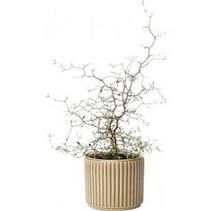 Sicksackbuske 12 cm