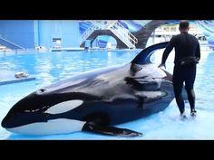 Breaking News: SeaWorld to End All Orca Breeding : Humane Society International