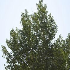 "Colorado Aspen Trees - Woodland Park, Colorado - ""The heavens declare the glory of God; and the firmament sheweth his handywork."" Psalms 19:1. (KJV) Visit prayervision.com for more free Christian resources. #woodlandpark #colorado #aspen #trees #tree #prayervision"