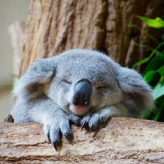 Amazing wildlife - Sleeping Koala photo #koalas