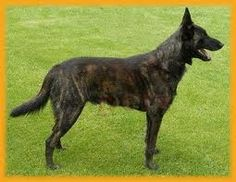 A protective and easygoing Dutch Shepherd Dog