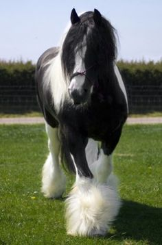 Gypsy Vanner Stallion ~ Beautiful Horses