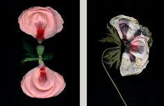 Poppy in Bloom / Decay