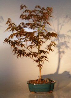 Bonsai Boys Japanese Red Maple Bonsai Tree  Large Acer Palmatum Atropurpurea ** Be sure to check out this awesome product.