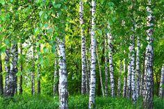 Birch Forest, Tree Forest, Birch Tree Wallpaper, Hd Wallpaper, Flip Image, Tree Wall Murals, Mountain Wallpaper, Fabric Wall Art, Canvas Wall Art