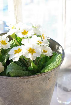 ♥ Inspiring me to plant primulas in one of dad's sap buckets...