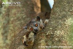 Lepilemur mustelinus (lemur čilý, Lepilemuridae)
