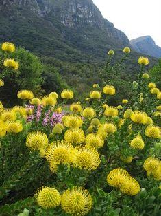 Visit these beautiful gardens with Shongololo ExpressKirstenbosch Botanical Gardens, South Africa. Visit these beautiful gardens with Shongololo Express