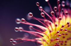 sweetsundew in 50 Breathtaking Examples of Flower Photography