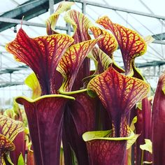"84 Likes, 2 Comments - Hampshire Carnivorous Plants (@hampshirecarnivorousplants) on Instagram: ""S.flava var rubricorpra #sarracenia #rhschelsea #pitcherplant #plants #hantsflytrap"""