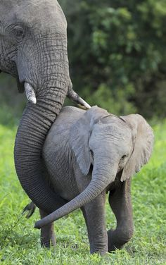 """Love by Kurt Jay Bertels. """"A mother elephant protects her young calf as they move throughout the bush."""" I'm forever touched by the love, tender gentleness and devoted care than elephants show one another in their group. Not just their own offspring but extended family too."""