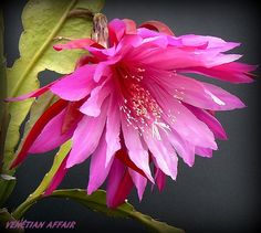 Hot pink, magenta and white, xl, an amazing flower.