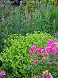 Veronicastrum 'Erica' with Rosa 'Sweet Chariot' and Euphorbia 'Golden Foam' [Nancy J. Ondra at Hayefield]