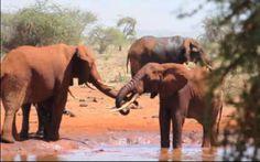 Kenijskie słonie.