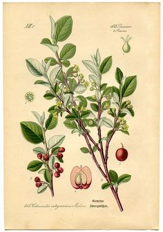 7th Botanical Print in a set of 8. This one is a beautiful Cottoneaster plant! These date to the 1880's.