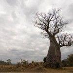 Baobab, Zambia