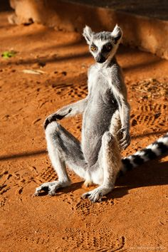 Ring Tailed Lemur, Magagascar