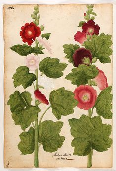 Vintage botanical prints, antique flower art prints with stunning colors and framed in gold/silver leaf wood frames, period to the piece. Unframed or framed traditional wall art, made in USA. Garden Illustration, Botanical Illustration, Vintage Botanical Prints, Vintage Prints, Vintage Posters, Hollyhock, Floral Illustrations, Garden Art, Flower Art