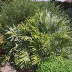 1000 ideas about palmier chamaerops on pinterest - Palmier d exterieur ...