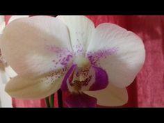 Мой метод увлажнения воздуха для орхидей. Выращивание орхидей в стеклянной вазе. - YouTube