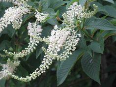 7月13日の誕生日の木は、救荒植物として栽培する事が義務付けられたことが、樹名となったとされる「リョウブ(令法)」です。平安時代の初期、田畑の面積を基準に、一定量のリョウブの植栽と葉の採取貯蔵を命ずる官令が発せられました。その「令法(りょうぼう)」が転じてこの木の名前になったといわれています。リョウブにはハタツモリという別名がありますが、この別名も「ハタ(畑)」「ツモリ(積り)」⇒「畑を見積もる」で同じような意味から付けられた名前です。
