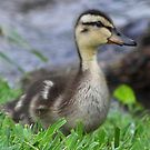 Pintail baby duckling by jackiepopp  http://www.redbubble.com/people/jackiepopp/works/8233010-pintail-baby-duckling?p=mounted-print