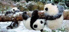 Pandaspandaspandaspandaspandas!!!!!