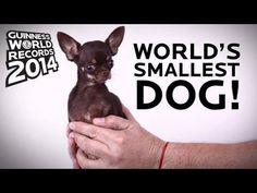 Image from http://journalweek.com/wp-content/uploads/2014/02/smallest-dog-_-Guinness.jpg.