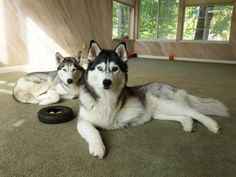 facts to know about huskies before getting one