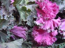 Purple and green kale leaves