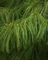 Fir vs. Spruce vs. Pine: How to tell them apart | Fine Gardening